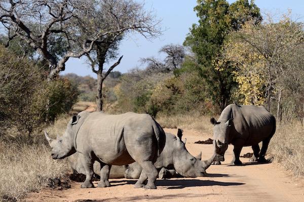Rinocerontes.