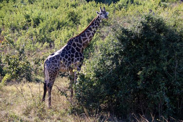 4 toda servilletas motivo África animales familia guepardo en el árbol
