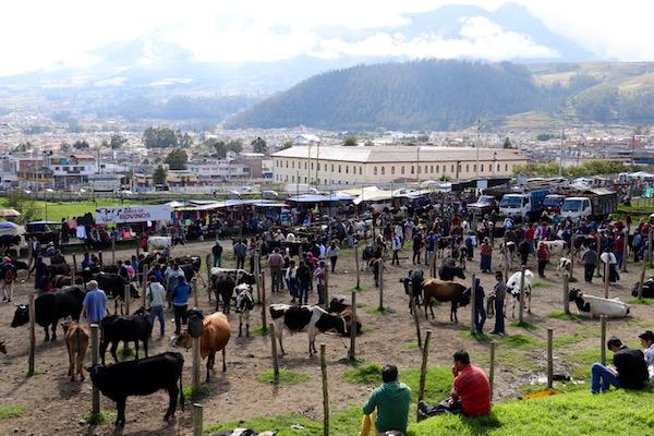 Mercado de animales, aréa de bovinos, Otavalo.