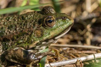 Frosch im Profil