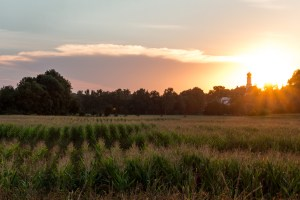 Maisfeld bei Walkersaich