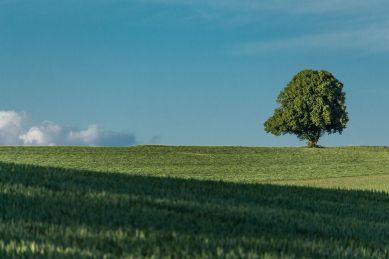 Solitaerbaum