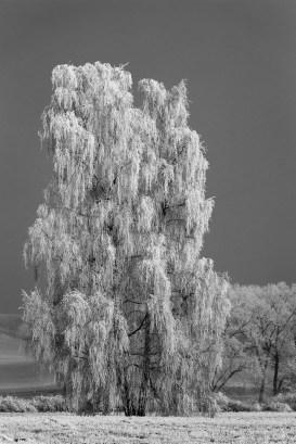 Frosty tree in b/w