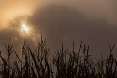 Corn on a foggy morning