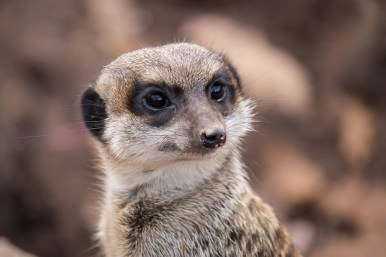 A day in the Zoo - Meerkat