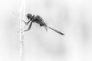 Dragon Fly in b/w