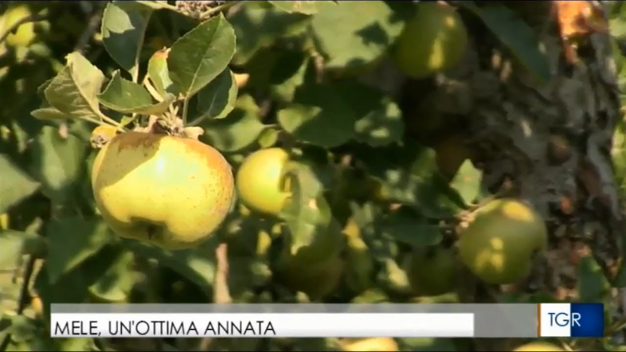 Le mele della Valle d'Aosta – intervista a Saint Grat TGR Vda (YouTube)