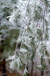 ice encrused evergreens