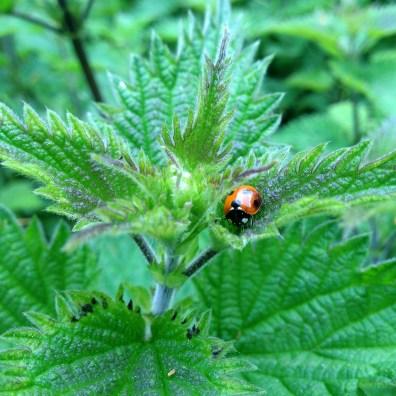 Lady bug on nettle