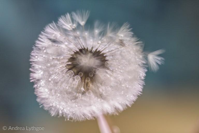 Dandelion Puffball Macro-2