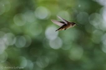 Hummingbirds-2