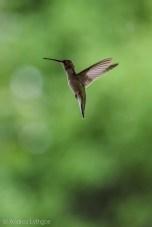 Hummingbirds-3