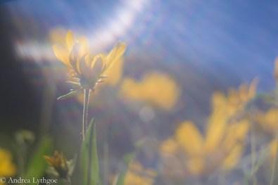 LensBabyAlbionWildflowers-2