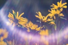 LensBabyAlbionWildflowers-5