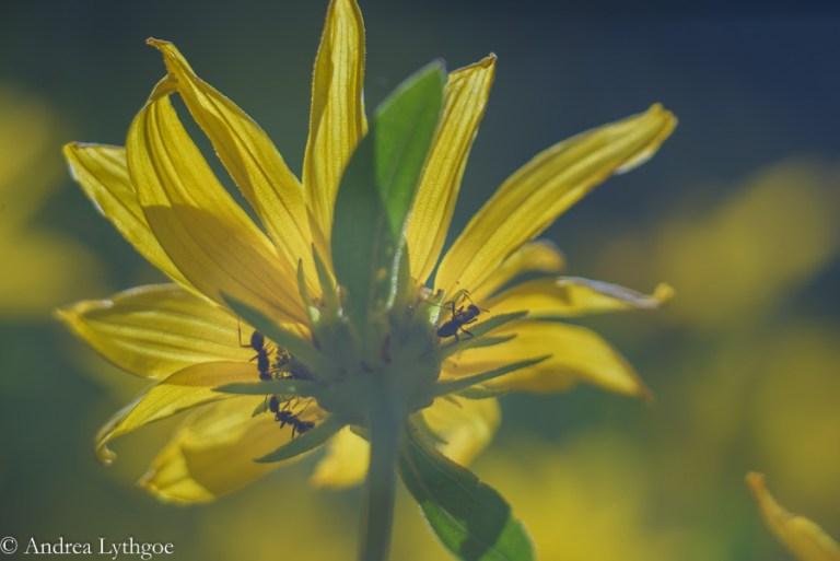 LensBabyAlbionWildflowers-6