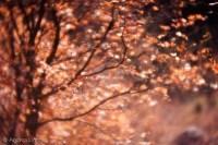 Velvet 85 Fall Leaves-1