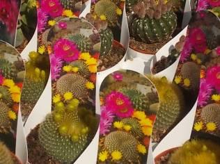 cactus giromagi castiglion del lago (27)