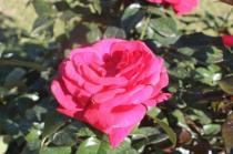 roseto di roma (25)