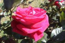 roseto di roma (27)