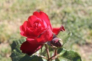 roseto di roma (39)