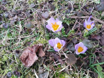 It was so warm in Ashaway, RI, these crocuses popped out in an otherwise barren backyard. Photo by Andrea Panciera