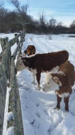 Meanwhile, in southern Rhode Island these baby polled Herefords were still coping with the snow. Photo by Andrea Panciera