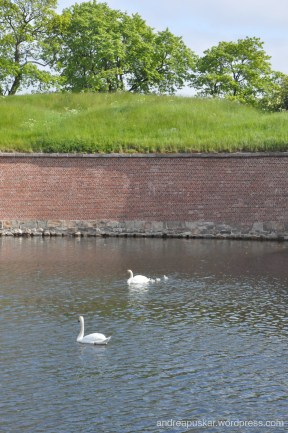 Did you know that swans are the birds of Denmark?? Can you spot the babies?
