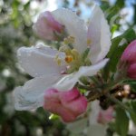 A ton of flowers on the apple tree, though here one is in focus.