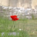 In a large green field there was ONE red flower. Due to the wind it was really hard to photograph, and it was right next to one of the walls.