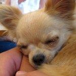 Tiny dog! Sound asleep.