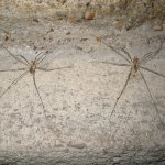 Opening a cellar door, I saw two spiders... next to each other. Is this normal?
