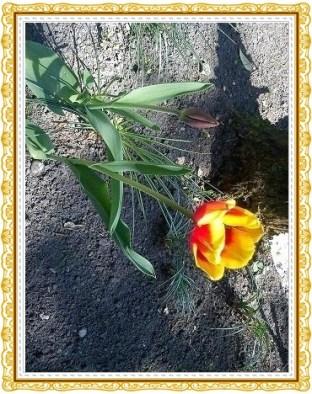 Tulpen20