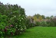 Lilac Grove