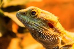 Lory - Dragon Barbu - Bearded Dragon