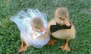 Just married ducks