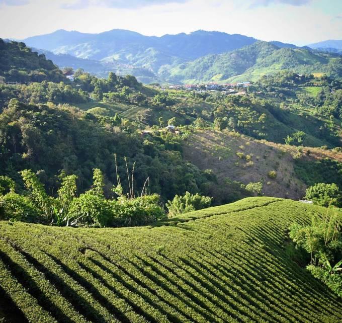 Mae Salong, Thailand, tea fields, travel