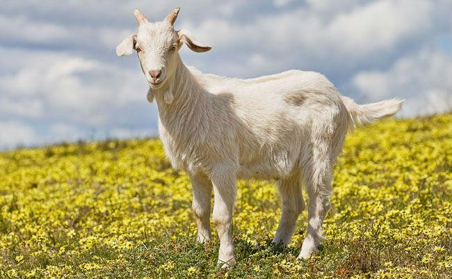 Photo of Când crezi că viața-i grea, cumpără o capră!