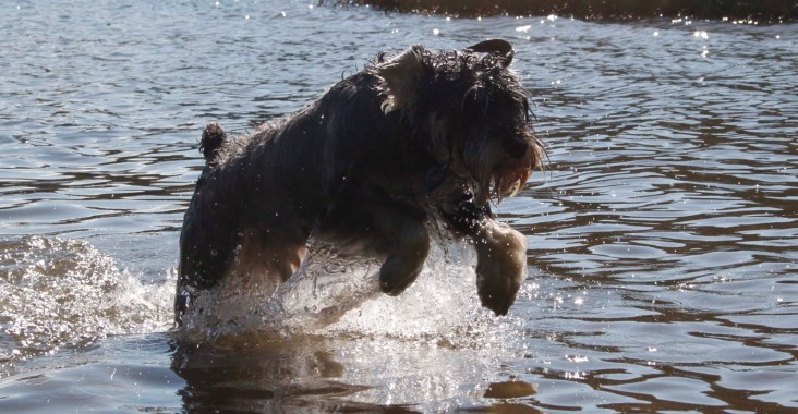 cane schnauzer gioca in acqua