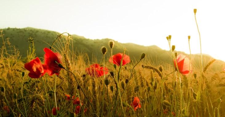 campo di grano con papaveri