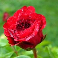 Trandafirii din parcul I.O.R.   Roses in the park I.O.R
