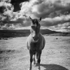 Dartmoor pony photographed by Andrew Butler