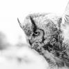 horned-owl