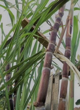 sugar-cane-1