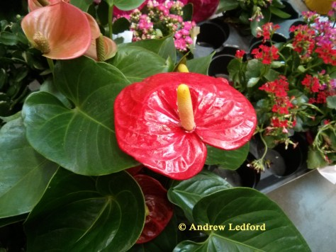 beautiful red flower on house plant
