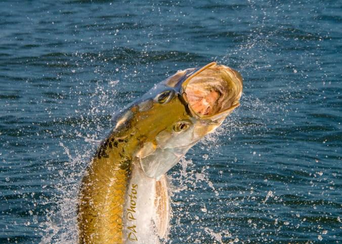 Tarpon Fishing Sanibel