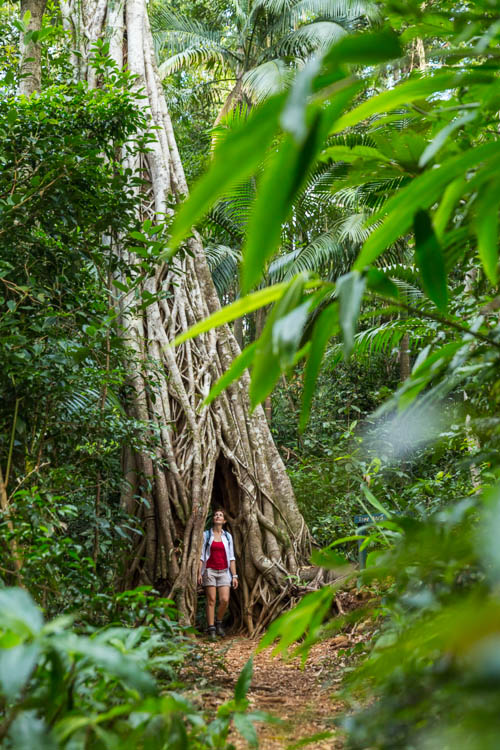 Image of hiker and strangler fig tree arch in Eungella National Park
