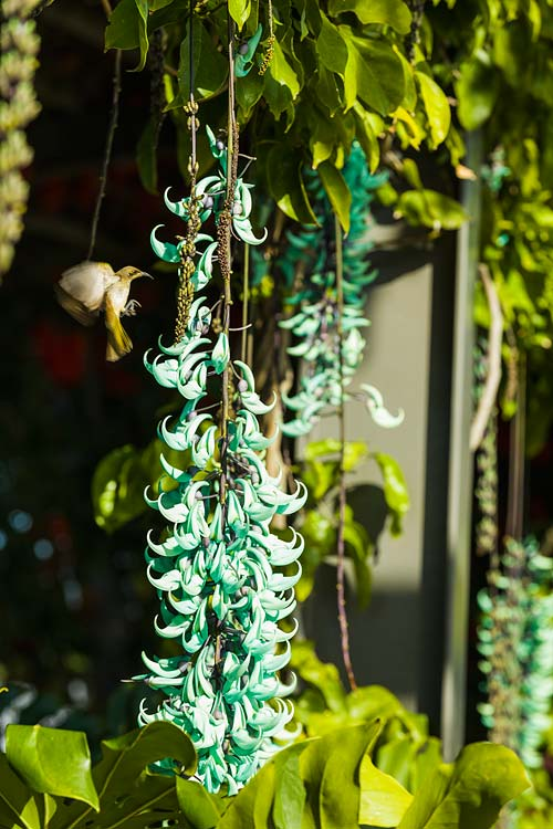 A sunbird in mid flight next to jade vine flowers in bloom