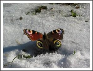 Бабочка на выпавшем снеге