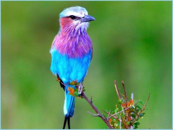 птица сизоворонка