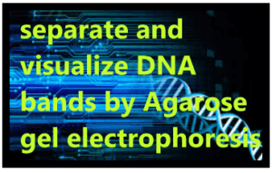 separate and visualize DNA bands by Agarose gel electrophoresis 1